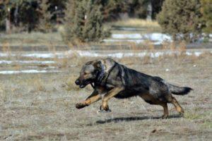 Oregon German Shepherd Breeder