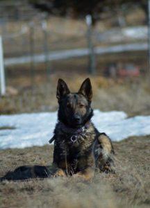 Oregon Protection Dog Breeder