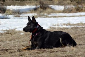 Protection Dog Breeder
