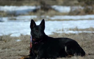 Oregon German Shepherd Breeder
