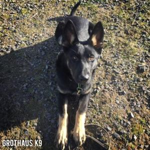 Oregon Washington Idaho German Shepherd Breeder